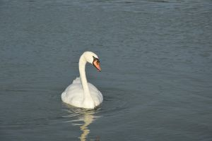 Swan with drops by A1Z2E3R