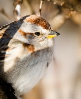 Portrait of a Sparrow by JestePhotography