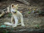 Wolf Pup by spike83