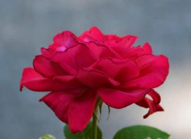 Rose 5-27-13 by Tailgun2009