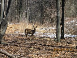 Deer  i saw at ojibway pic 2 by catsvsfox