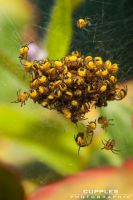 Baby Spider Cluster by cupplesey