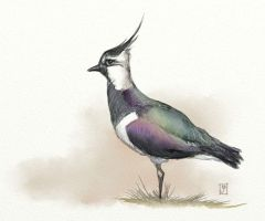 Lapwing by infinatepixel