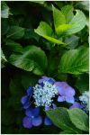 Hydrangea 1 by wildplaces