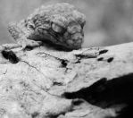 black and white Gecko by yourdistraction