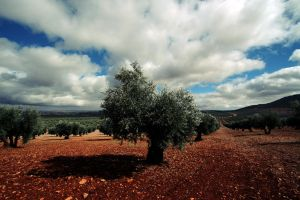 Olive field by SaTaNiA