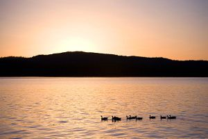 Geese by Muskeg