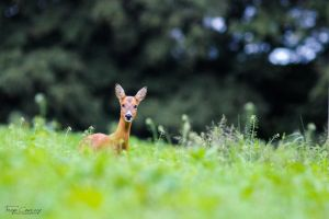 Roe Doe by FreyaPhotos