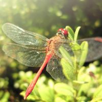dragonfly by Iulia-Oprinesc
