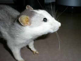 rat 1 ( for sale, 50 Euro) by Taxidermy-novice