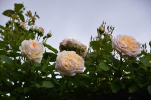 Double roses for my friend Silivrene by A1Z2E3R