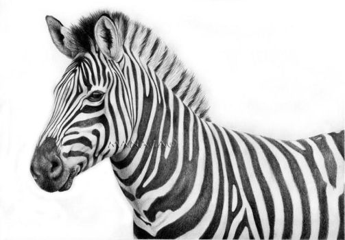 Zebra by waderra