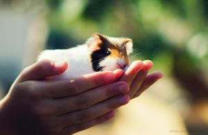 Baby Guinea Pig by ABilro