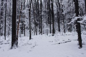 Winter Forest 5 by Salamander-Stock