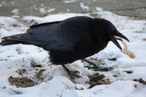 Crow 1 by Etherick