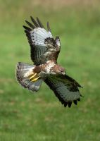 Common Buzzard by Albi748