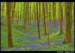 Fields of bluebells by catalindragosh