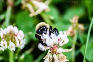 Bumble bee by OlegKPhotography