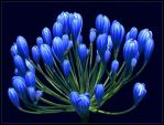 LILY OF THE NILE BUDS by THOM-B-FOTO