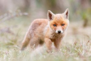 Little Fox Kit in a Big World by thrumyeye