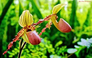 Lady's Slipper by GlassHouse-1