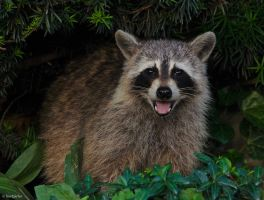 Raccoon That Thinks It's a Dog by TerribleTer
