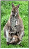 Wallaby with joey by sicklittlemonkey