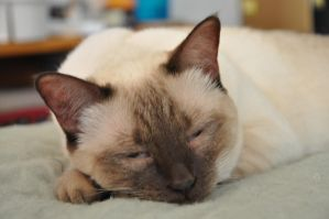 Robriel-Stock - Siamese Cat 1 by Robriel-Stock