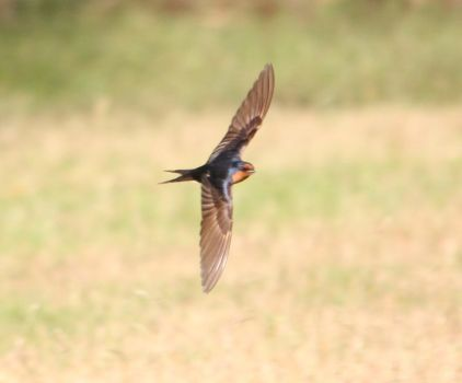 Welcome Swallow by tasphoto