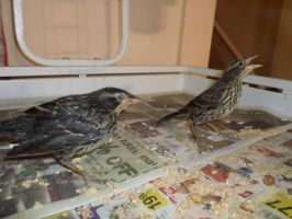 Current status of Redwing black birds by NovDecJan