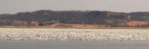 Million Snow Geese Panorama by FramedByNature