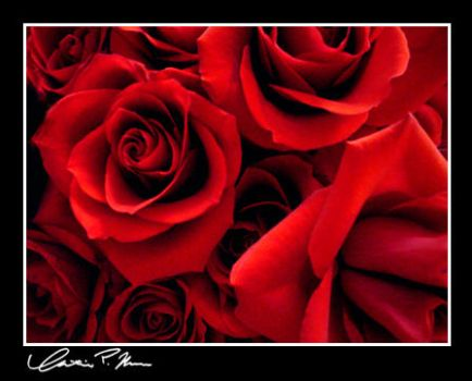 Roses by Shalora
