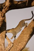 Leopard 32 by catman-suha