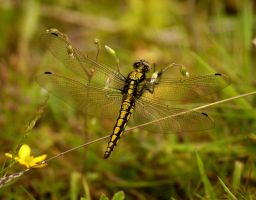 Black-tailed skimmer 5 by quaddie