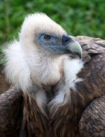 Vulture by serdarsuer