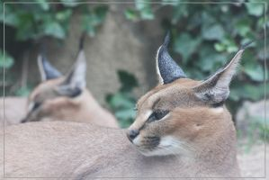 Caracal 8 by Globaludodesign