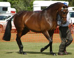 Bay-warmblood-8 by tbg-stock-images