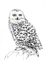 Snowy Owl by Ainaven
