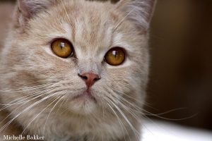 British Shorthair Simba Close-up by MichelleB-Stock