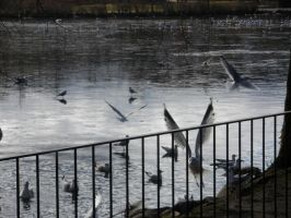Seagulls in fight and lake by Nikarorku