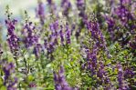 A field of Lavender by naomi-p