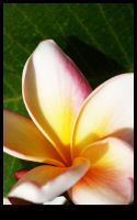 Frangipani Frenzy by surfing-ant