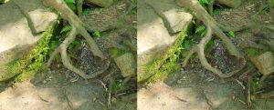 Stereograph - Root by alanbecker