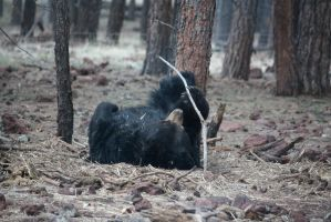 Black Bear Playing with a Stick by icantthinkofaname-09