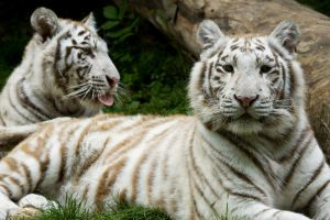 d1203 - White Tigers by Jay-Co
