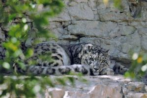 Snow Leopard Through the Trees by robbobert