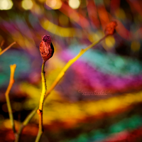 The Rainbow Bud. by OliviaMichalski