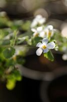 Bacopa by George---Kirk