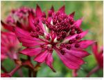 Astrantia Major Ruby Wedding by In-the-picture