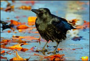 Autumn Crow On Ice by andy-j-s
